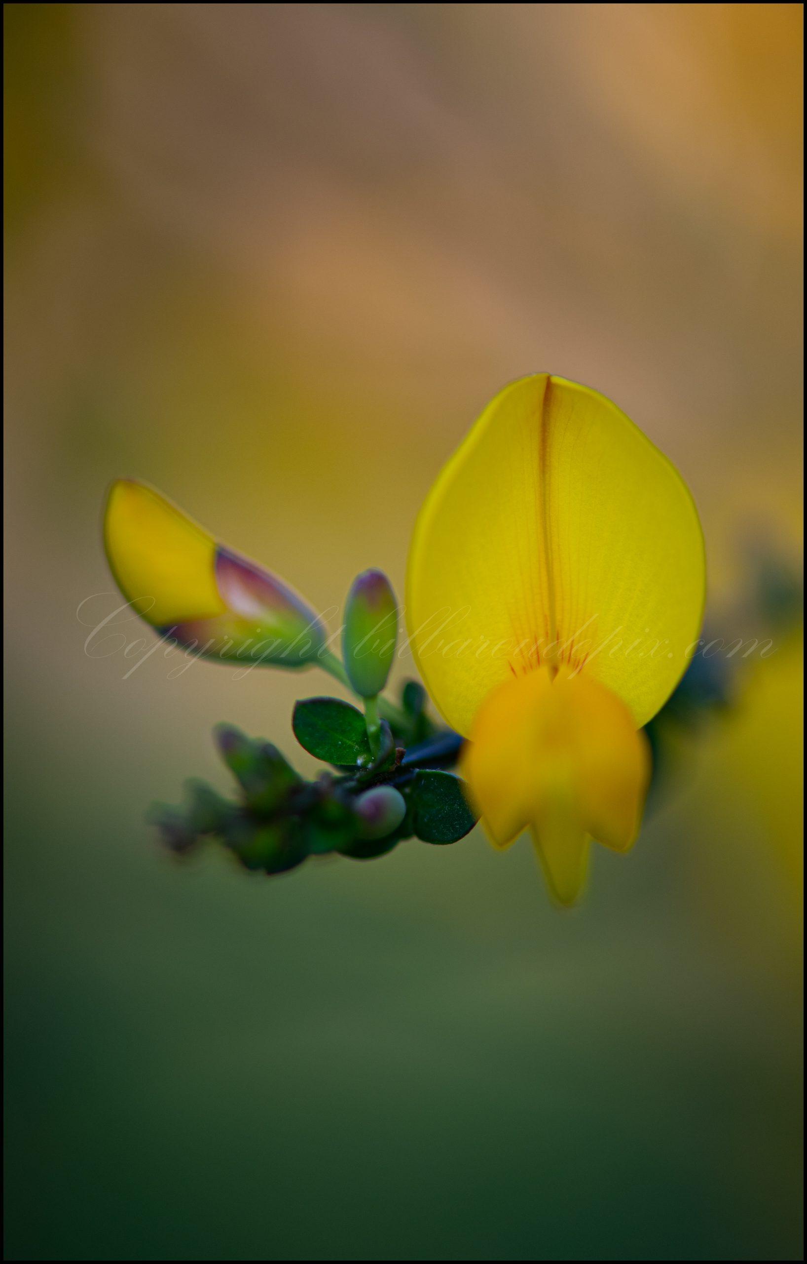 Fleur d'ajonc