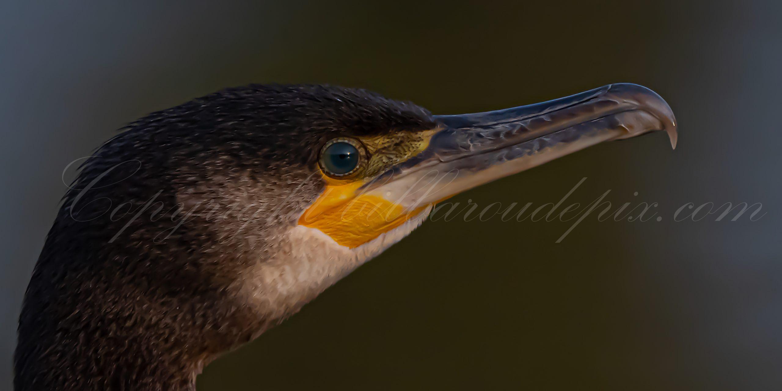 Le regard du grand cormoran