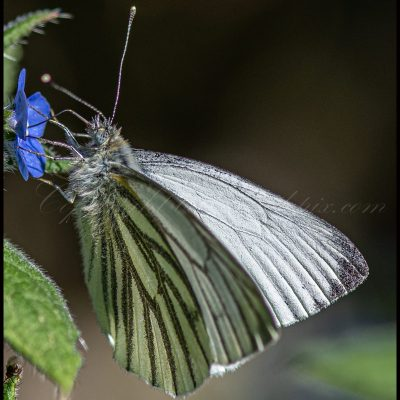 Papillon piéride du navet
