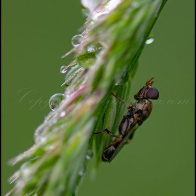 Syrphe à l'abris de la pluie