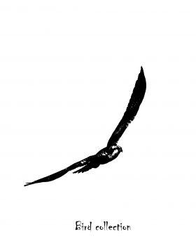 """Balbuzard pêcheur en vol """"Bird collection"""""""