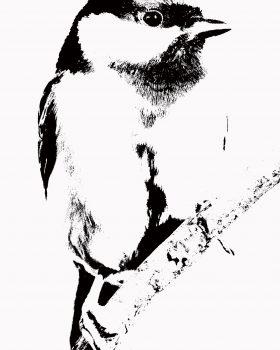 """Mésange charbonnière """"Bird collection"""""""